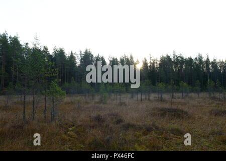 Lever du soleil sur une forêt de pins des marais envahis par les jeunes à l'automne au chaud matin brumeux Banque D'Images