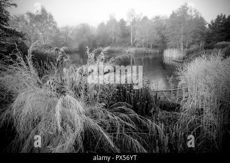 L'herbe et seedheads pendant un hiver glacial le lever du soleil. Plantes comprennent: Molinie caerulea subsp. arundinacea 'Transparent' (syn. M litoralis 'Tr Banque D'Images