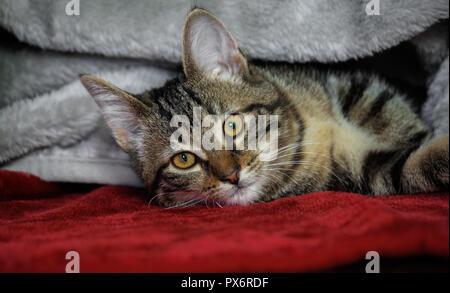 Petit Chaton rayé bâtard couché sur le côté, jaune avec des yeux verts, orange, la tuyère d'animal sous un plaid brillant gris couché sur un tapis rouge, couverts Banque D'Images