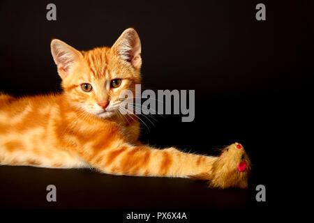 Le gingembre mackerel tabby12 semaine chaton isolé sur un fond noir à jouer avec un jouet de la souris