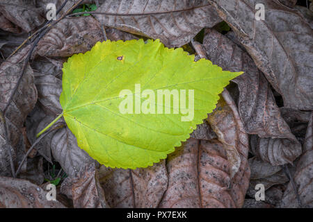 Une feuille qui tombe de l'arbre en automne, qui n'a pas encore perdu sa couleur d'automne Banque D'Images