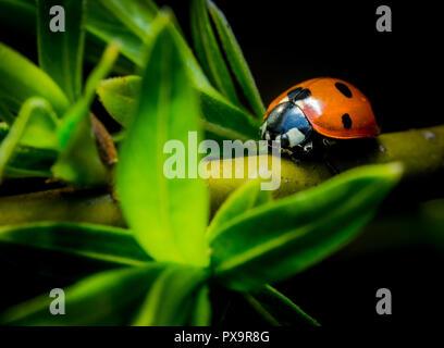 Belle coccinelle sur rameau vert macro photo Banque D'Images