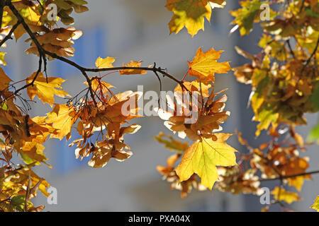 foto de Automne Feuilles d'automne Feuilles d'érable d'exécution dépendent ...