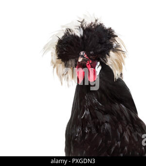Dutch Rooster against white background Banque D'Images