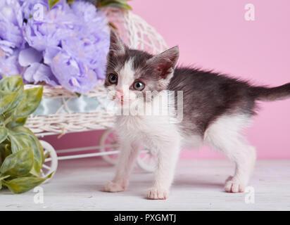 Une belle kitty avec décorations. Chaton gris et blanc sur un tableau blanc.