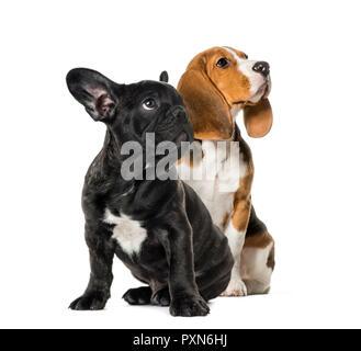 Les jeunes assis avec Beagle chiot bouledogue français Noir, jusqu'à la , in front of white background Banque D'Images