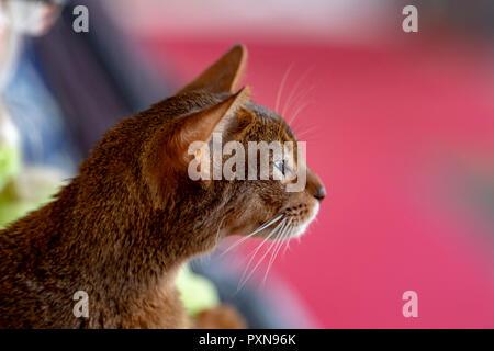 Portrait chat Abissinian vous regarde Banque D'Images