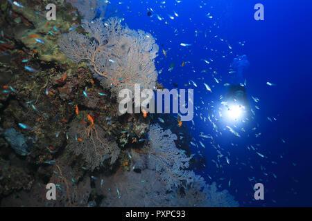 De beaux coraux et petits poissons sous l'eau dans la Grande Barrière de Corail de l'Australie Banque D'Images