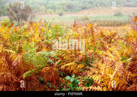 Fougère Pteridium, aquillinum en couleurs automnales, Dorset, UK Banque D'Images