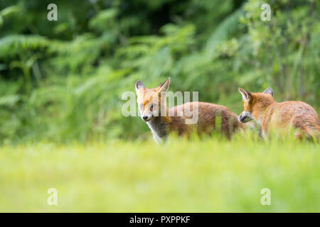 L'angle faible, capture du paysage: paire de jeunes sauvages, des renards roux (Vulpes vulpes) est intervenu à l'herbe, à l'égard des forêts naturelles, l'arrière-plan à la ludique. Banque D'Images