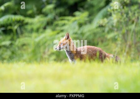 Détaillé, close-up portrait of young British red fox (Vulpes vulpes) dans la nature, seule dans l'herbe haute, avec fond bois naturel UK. Banque D'Images