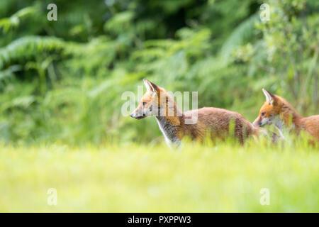 L'angle faible, capture du paysage: paire de jeunes sauvages, des renards roux (Vulpes vulpes) est arrêté et alerte dans l'herbe, à côté, le bois naturel contre l'arrière-plan. Banque D'Images