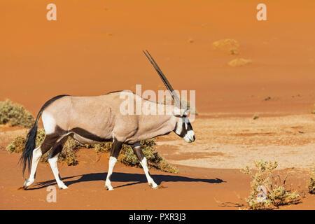 La Namibie, Namib-Naukluft National Park, Gemsbok, Oryx gazella marche Banque D'Images