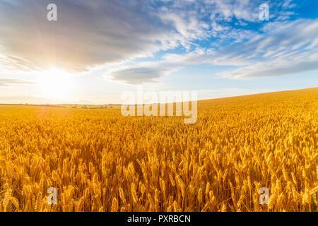 Royaume-uni, East Lothian, champ de blé, Triticum sativum, contre le soleil Banque D'Images
