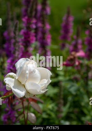 Naturel pittoresques en plein air près de l'image d'un floral fleur rose blanc en face d'un champ de la salicaire pris dans un jardin un jour d'été
