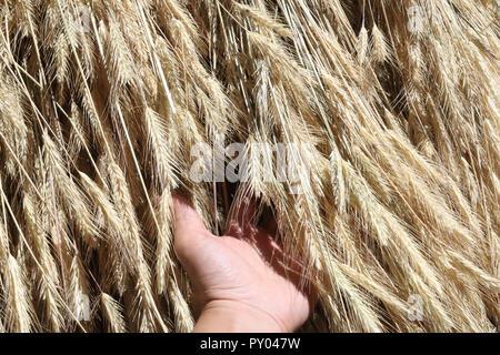 Une vue rapprochée d'un ensemble d'épis de blé jaune et des tiges au séchage au soleil pendant un jour d'été, avec une gauche human hand holding il Banque D'Images