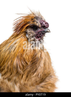 Silkie, parfois orthographié soyeux, race de poule connue pour son plumage duveteux, in front of white background Banque D'Images