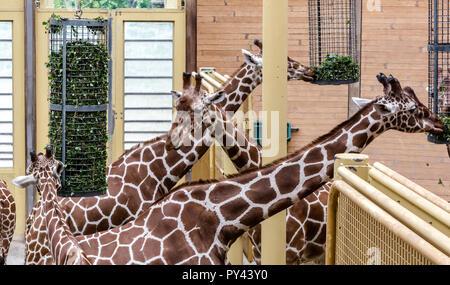 La girafe réticulée (Giraffa camelopardalis reticulata), également connu sous le nom de girafes somaliens, de manger.