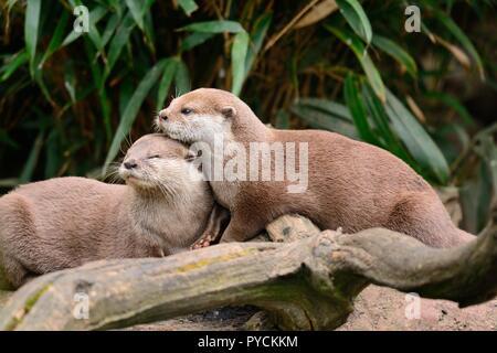 Deux Loutres Cendrées Asiatiques (aonyx cinerea) de câlins Banque D'Images