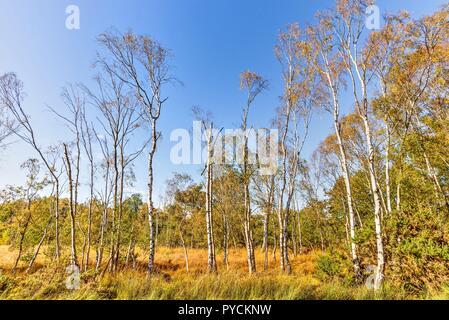 Une propagation des bouleaux d'argent sur la lande à l'automne. Certains ont déjà perdu toutes leurs feuilles, d'autres sont ornés de golden orange feuillage.