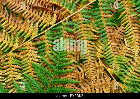Un résumé tiré de frondes de fougère (Pteridium) à l'automne. Banque D'Images