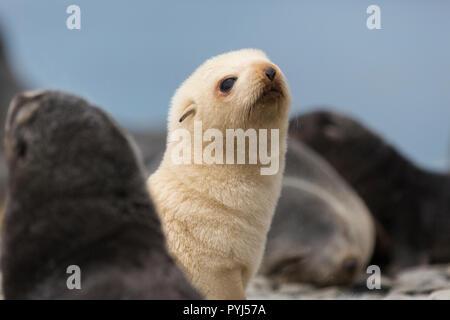 Leucistic à fourrure de l'Antarctique, Fortuna Bay, la Géorgie du Sud, l'Antarctique.