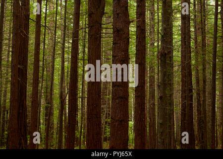 Bois rouge sur le tronc des arbres, la forêt de Redwoods Whakarewarewa (), Rotorua, île du Nord, Nouvelle-Zélande