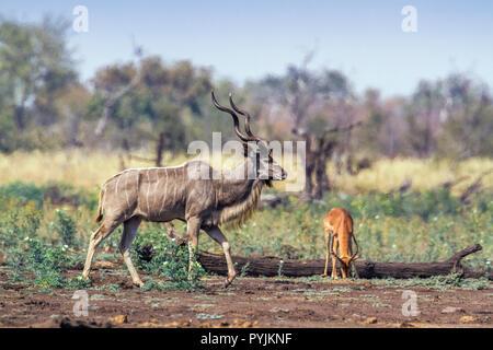 Grand koudou dans Kruger National Park, Afrique du Sud; Espèce Tragelaphus strepsiceros famille des bovidés