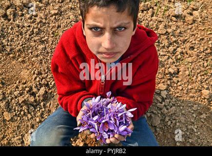 Un garçon du Cachemire vu tenant dans ses mains des fleurs de safran pendant la récolte du safran à Pampore, environ 22kms de Srinagar, Cachemire sous administration indienne. Le safran est connu pour être l'épice la plus chère au monde. Le safran est cultivé commercialement principalement dans l'Inde, l'Espagne et l'Iran. Mais le Cachemire sous administration indienne est considérée comme l'un des trois grands lieux de la culture de safran dans le monde entier. Le safran du Cachemire est appréciée dans le monde entier pour sa qualité et une grande partie de la production de safran dans le Cachemire est exporté dans différents pays. Banque D'Images