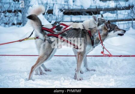 Deux chiens de traîneau husky aux yeux bleus en rouge couronne sont debout sur la neige et en attente de commande à exécuter. Aujourd'hui, ce sport d'hiver Scandinave et la tradition est un Banque D'Images
