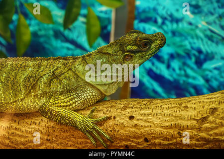Sailfin lizard sur l'arbre dans une forêt modèle. Banque D'Images
