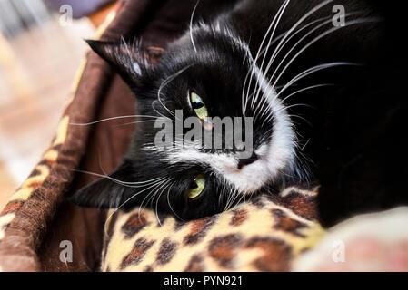 Portrait d'un chat noir aux yeux verts se balançant à la maison. Banque D'Images