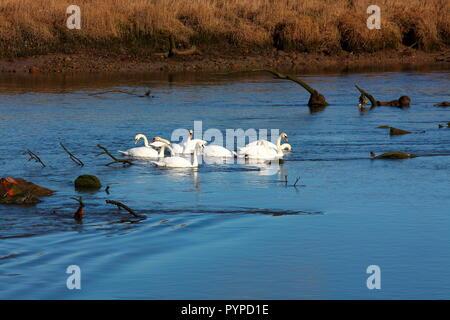 Un groupe de cygnes parcourt le long de la rivière de manger dans le lit de la rivière sur une froide journée ensoleillée et calme dans une zone d'arbres échoués lavé en aval. Banque D'Images