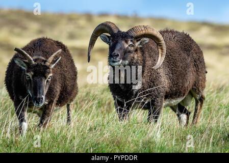 Moutons Soay suite ram ewe sur Lundy Island au large de la côte nord du Devon Banque D'Images