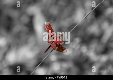 Red dragon fly assis sur la paille en face de fond noir et blanc