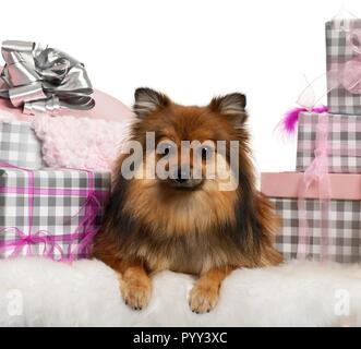 Pomeranian, 2 ans, couchant avec cadeaux de Noël in front of white background