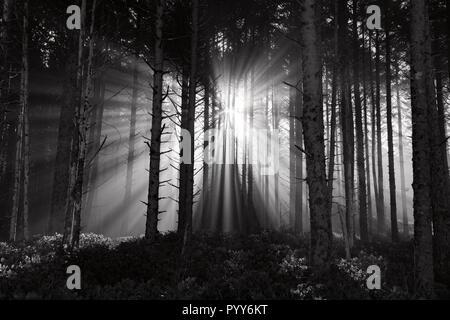 Rayons de soleil percent le brouillard du matin, les troncs des arbres, et la cime des arbres au nord-ouest du Pacifique Banque D'Images