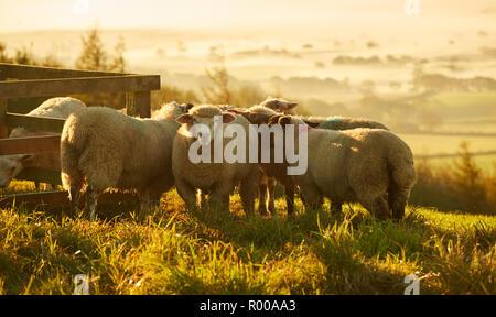 Des moutons paissant dans la lumière dorée sur les terres agricoles près de Dorset Stylo Pilsdon Hill au lever du soleil Banque D'Images