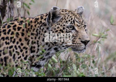Portrait de Leopard (Panthera pardus) dans le Sabi Sands, Afrique du Sud, Kruger Banque D'Images