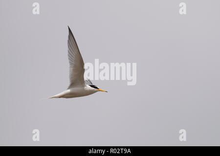 Une sterne naine (Sternula albifrons) en vol au dessus de la colonie de reproduction à Gronant, au nord du Pays de Galles. Banque D'Images