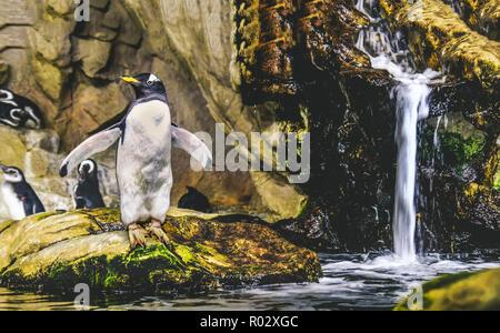 Gentoo pingouin debout sur rock sur le point de plonger dans l'eau près de wa