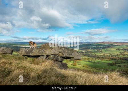 Chien à la recherche vers le bas sur un bord - peur des hauteurs? Ilkley Moor, West Yorkshire, Royaume-Uni Banque D'Images