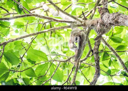 Trois doigts à gorge brune Sloth, Biesanz Beach, Playa Manuel Antonio, Costa Rica, Amérique Centrale Banque D'Images