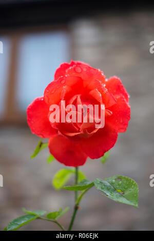Une rose rouge avec gouttes dans Wells, Somerset, UK Banque D'Images