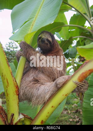 Un des trois sloth Bradypus variegatus sur un bananier, Costa Rica, Amérique Centrale Banque D'Images