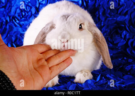 Jeune mignon petit lapin lapins nains oreilles lop