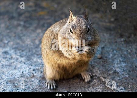 Close-up of a fox squirrel debout sur une montagne. Banque D'Images