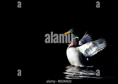 Limavady, Irlande du Nord. Dimanche 28 Octobre, 2018 Le Canard colvert sur un matin froid, sur un étang très toujours Banque D'Images