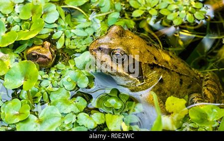 Une grenouille rousse (Rana temporaria) et l'hydrocharide grenouillette grenouillette entouré de mauvaises herbes de l'étang dans un étang de jardin. UK Banque D'Images