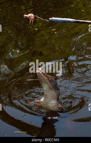 Un aligator dans l'écosystème fragile d'un marais de Louisiane, Bayou L'ours près de Thibodaux, en Louisiane. Banque D'Images